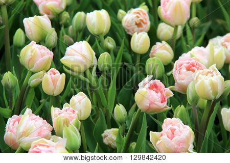 Gorgeous landscape of pink and white tulips in backyard garden.