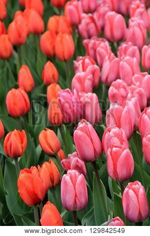 Vertical shot of bright pink and soft peach colors in Tulip garden.