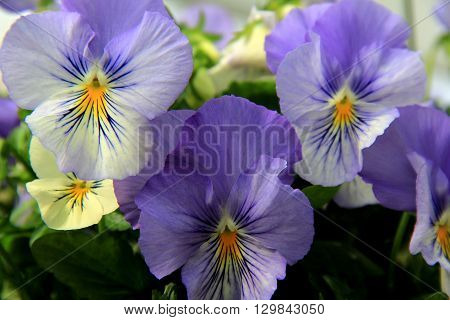Pretty little pansies in backyard garden, a favorite for people who love flowers