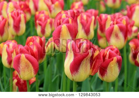 Springtime landscape of beautiful tulips and lush greenery