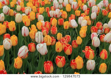 Such a beautiful landscape, with several colors and varieties of seasonal tulips, all blossomed and open to the Springtime sun.