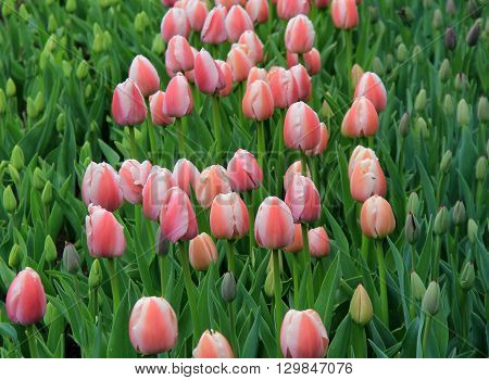 Beautiful garden landscape with pink and white striped tulips, some fully open to the warmth of Springtime sunshine while others are still budding.