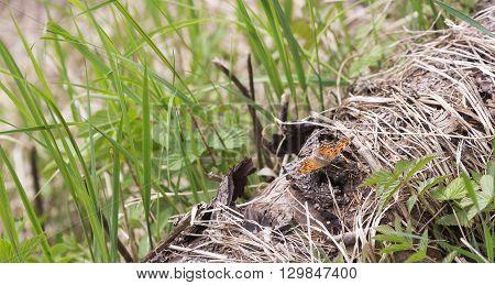 Orange Small Tortoiseshell Butterfly sitting on log.