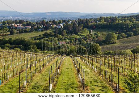 VIENNA AUSTRIA - 7TH MAY 2016: Part of Kahlenberg and wineries on the outskirts of Vienna during the spring. Wine plantations can be seen starting to blossom
