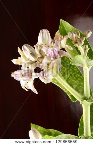 Calotropis gigantea flowers and leaf in balck backgrund.
