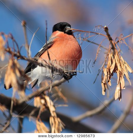 Bullfinch, Pyrrhula Pyrrhula