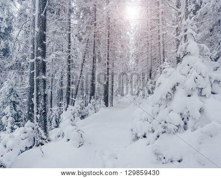 Majestic winter landscape. Dramatic wintry scene. Location Carpathian national park, Ukraine, Europe. Ski resort. Beauty world. Happy New Year!