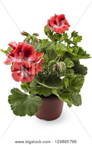 Red garden English geranium with buds in flowerpot isolated on white background