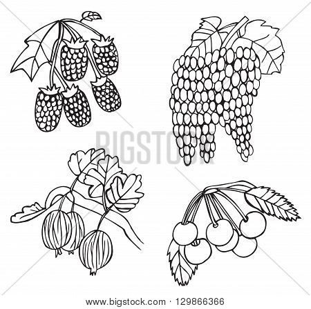 illustration on white background fruits and berries: cherry gooseberries grapes raspberries