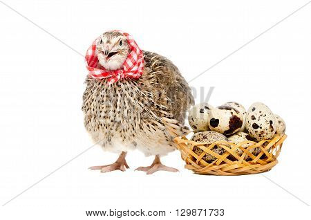 Quail in the neckerchief next to a basket of quail eggs isolated on white background