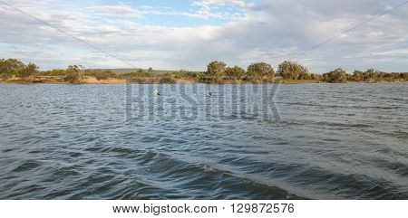 Riverbank of the Murchison River with coastal vegetation and two pelicans swimming under blue cloudy skies in Kalbarri, Western Australia.