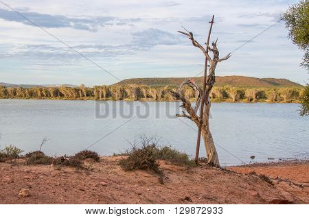 Leafless tree on the Murchison River riverbank with vegetated coastal dunes and blue cloudy skies in Kalbarri, Western Australia.