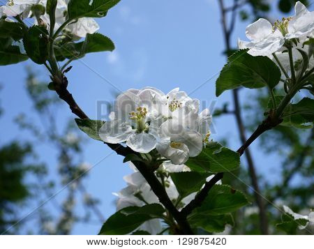 blooming apple-tree with green leaf on sky background