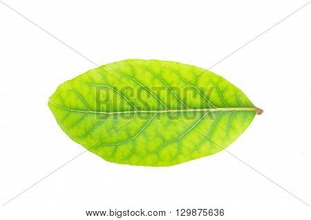 leaf herb laurel on a white background