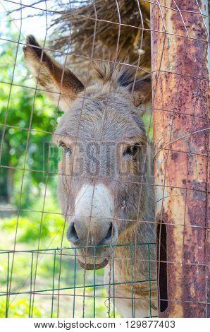 A beautiful Gray Italian Sardinian Donkey in the farm