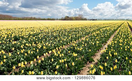 Large beds with mostly yellow flowering tulips in the field of a specialized in the Netherlands. It is a cloudy in springtime.