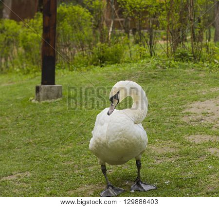 Mute swan (Cygnus olor) on the grass