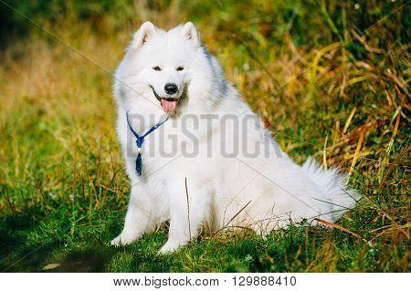 Funny Happy Lovely Pet White Samoyed Dog Outdoor in Summer Park. Smiling dog.