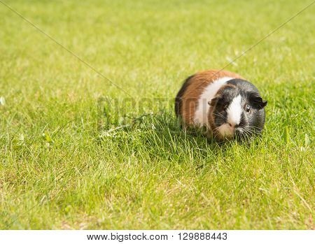 Guinea pig stands in a grass in summer