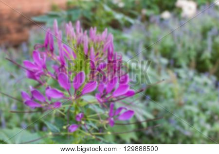 Purple Desert Rose or Impala Lily or Mock Azalea flower blur background