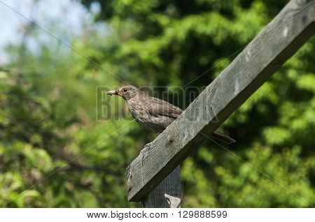 Song Thrush perched on wooden board in rustic garden