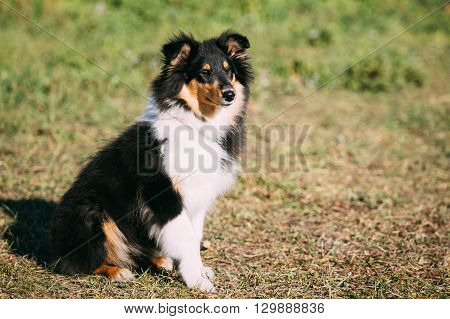 The Shetland Sheepdog, Sheltie, Collie Puppy. This breed of herding dog. They are vocal, excitable, energetic dogs who are always willing to please and work hard