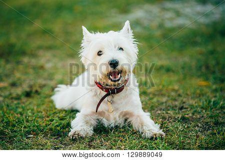Sweet West Highland White Terrier - Westie, Westy Dog Play in Grass