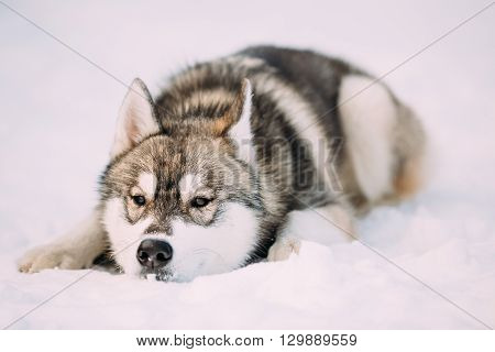 Young Husky Puppy Dog Sit In Snow. Winter Season