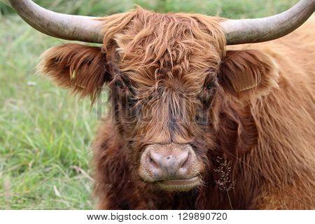 Highland Cattle in Valais Canton in Switzerland