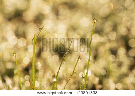 Sunrise in dew drops on grass blades on a dewy bokeh background