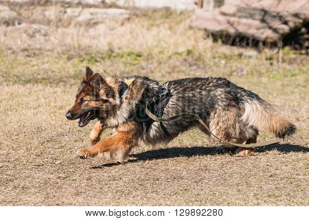 Fast Running German Shepherd Dog Training. Running Dog. Alsatian Wolf Dog. Deutscher Dog