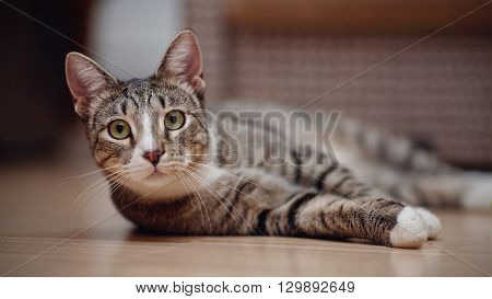 Domestic striped cat with white paws lies on a floor.