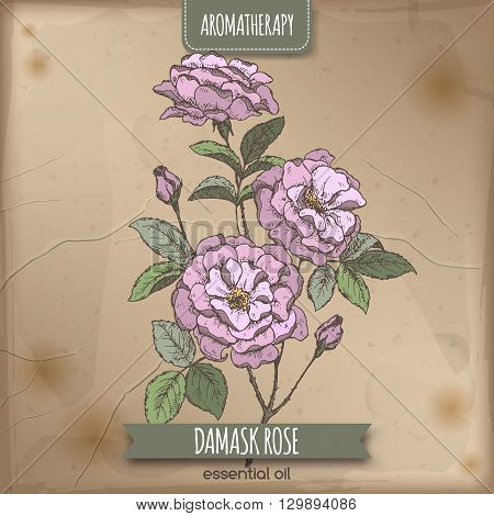 Color Rosa damascene aka Damask rose sketch on old paper background. Aromatherapy series. Great for traditional medicine, perfume design, cooking or gardening.
