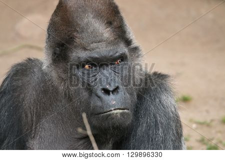 Western Lowland Gorilla (Gorilla gorilla gorilla) looking angry