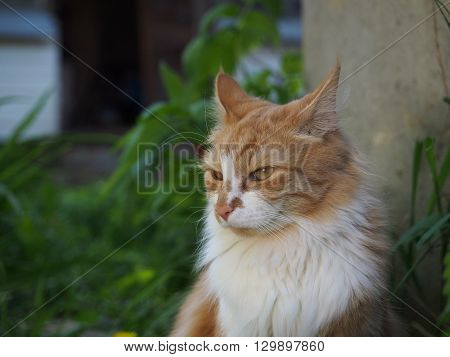 Red fluffy cat on nature. Green grass. We do not have a cat in one eye. Cat sees bad