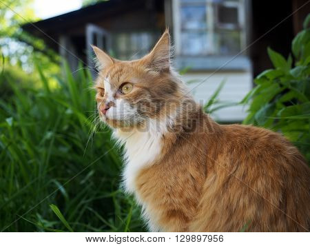 Red fluffy cat on the nature, in the country. Green grass. In the background is a village house. There is no single cat's eyes