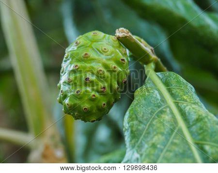 Green Fruit Of Great Morinda, Indian Mulberry, Beach Mulberry, Noni, Morinda Citrifolia, Tahitian Noni, Cheese Fruit