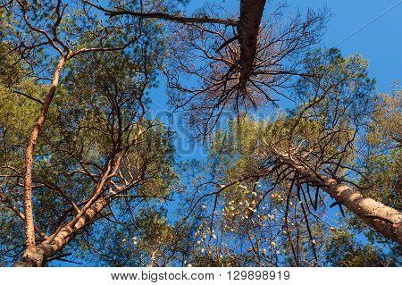 Three Pine Trees Against Blue Sky
