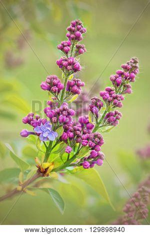 Lilac (syringa Vulgaris) Starts To Bloom