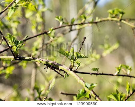 Scrub And Thorns