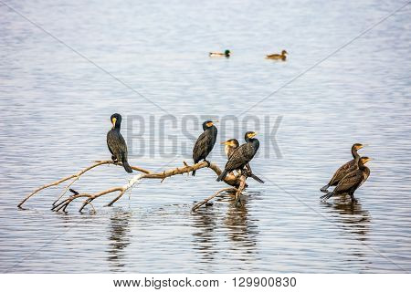 Migratory cormorants wintering on the Lake Hula. Fantastic winter dawn in Upper Galilee, Israel