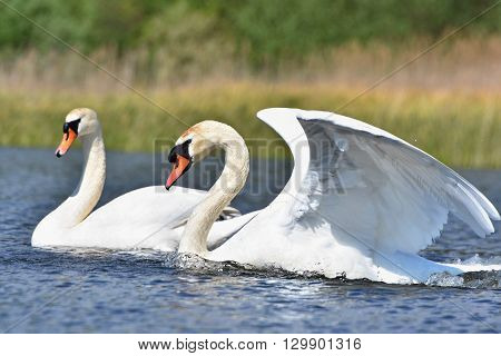 Beautiful swan cubs at the pond. Love - nature