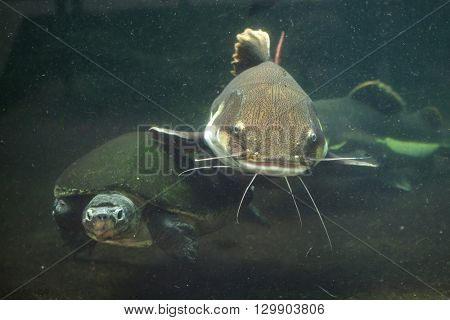 Redtail catfish (Phractocephalus hemioliopterus) and Malaysian giant turtle (Orlitia borneensis), also known as the Bornean river turtle. Wild life animal.