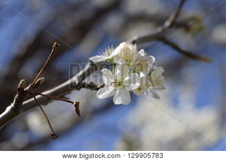 White blooming flowers on a tree blooming in the springtime with blue skies in the background.