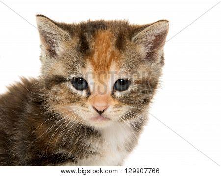 Tabby Kitten On White