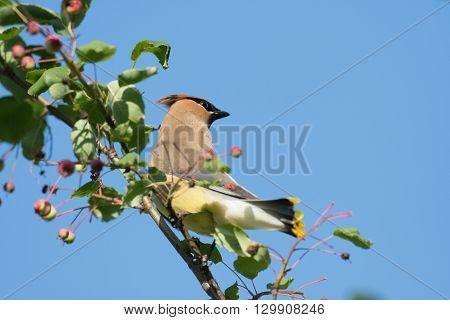 Cedar Waxwing In A Tree