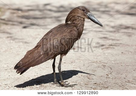 Hamerkop (Scopus umbretta). Wild life animal.