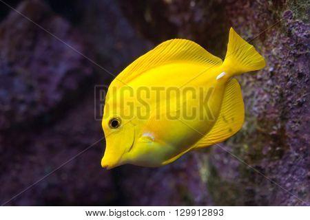 Yellow tang (Zebrasoma flavescens). Wild life animal.