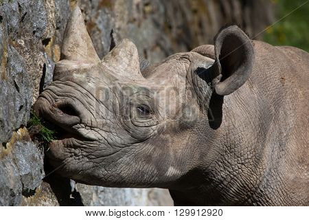 Black rhinoceros (Diceros bicornis). Wild life animal.