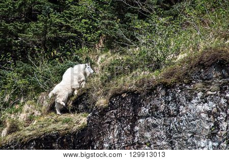 Mountain Goat along the cliffs in Alaska